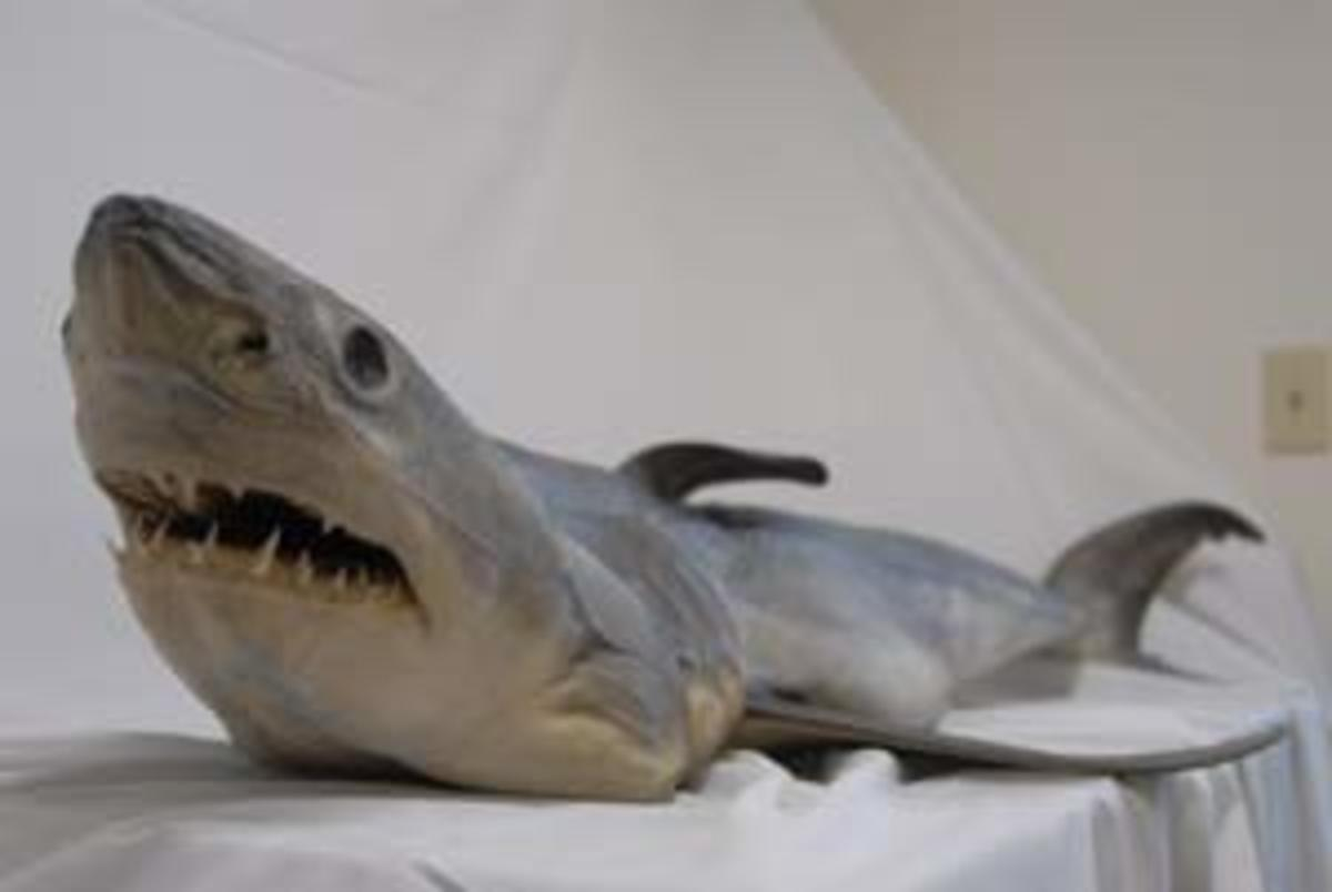 great white shark pup