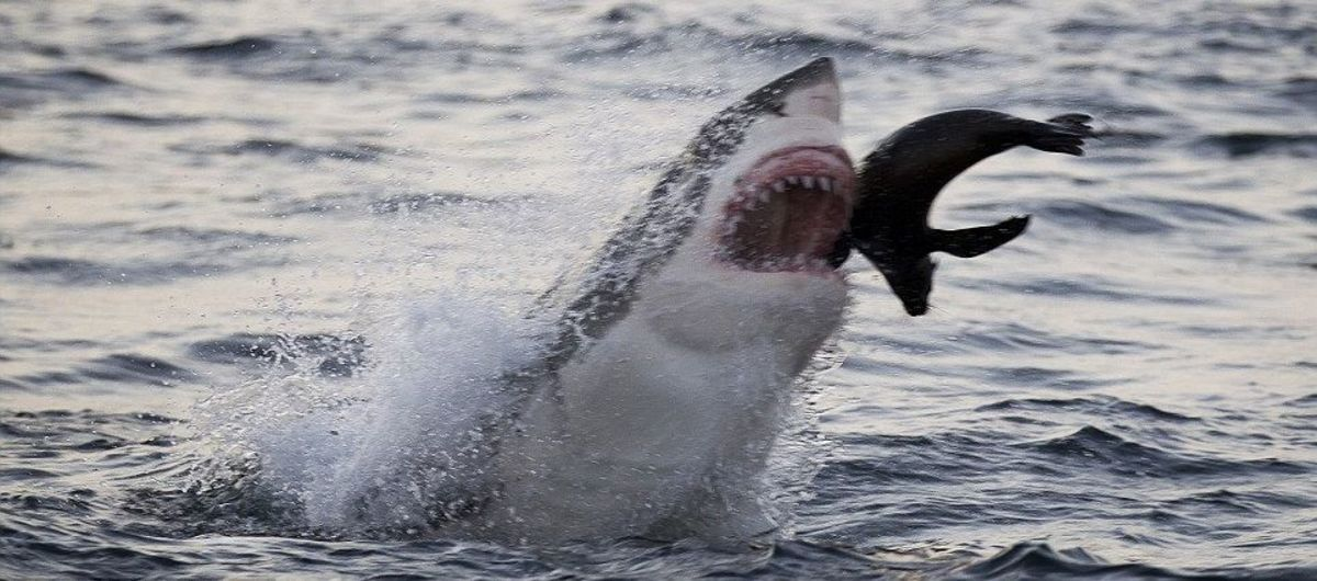 Great white shark catches a seal