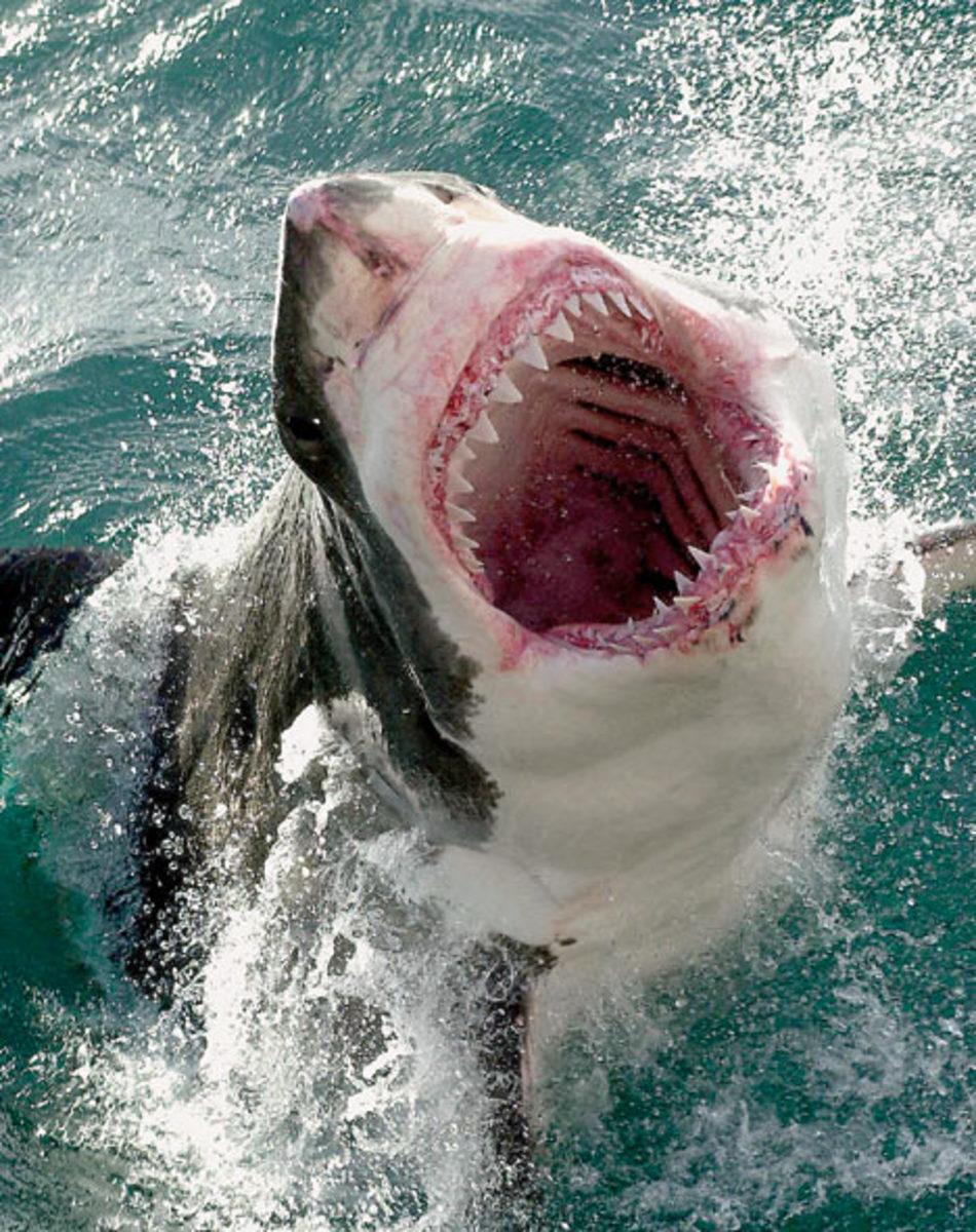 great white shark says ahhhhh!