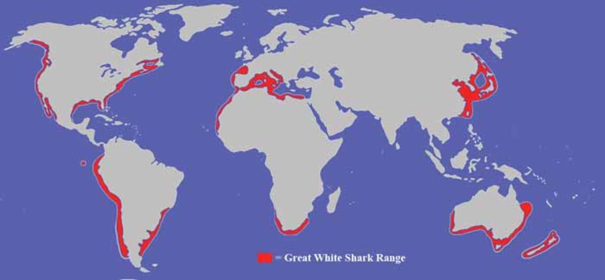 Interesting Facts About Great White Sharks For Kids HubPages - Great white shark range us map