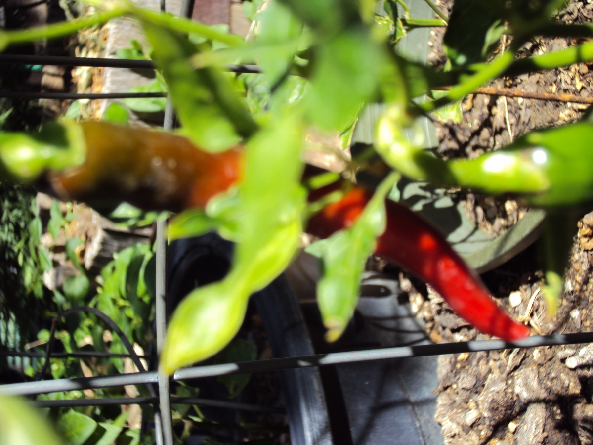 Chili peppers ripening on the vine.