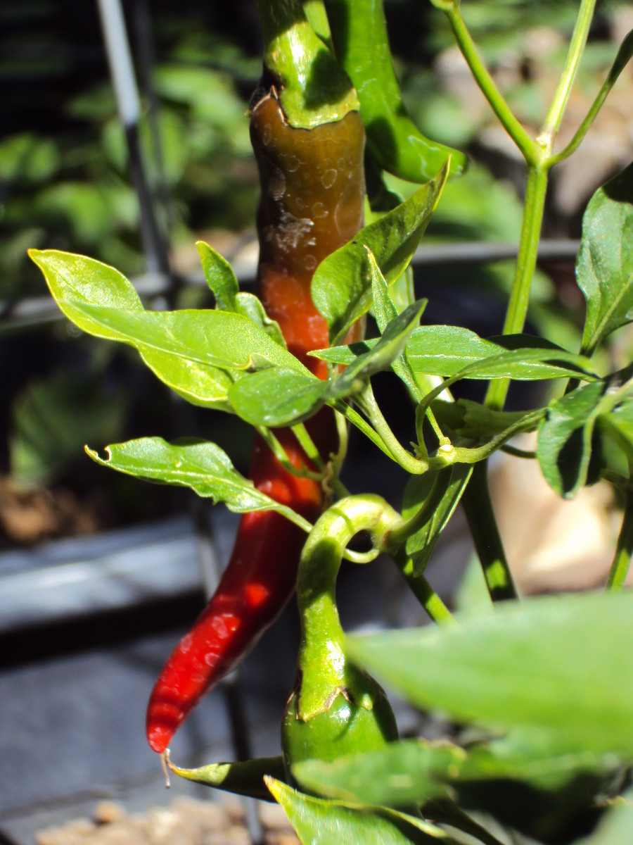 Chili peppers are mesmerizing, and add major flavor to every main dish.