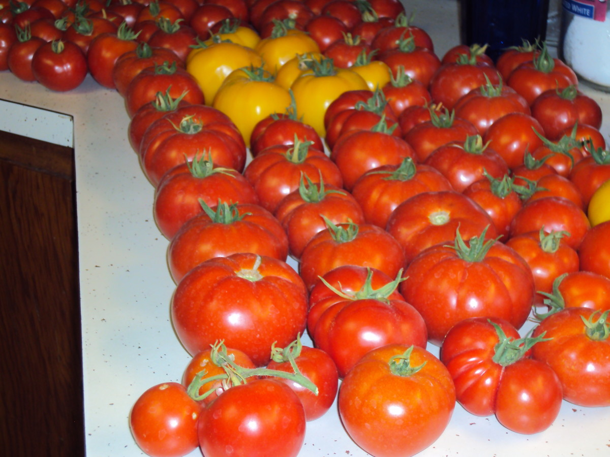 The tomatoes are lined up for their photo shoot.
