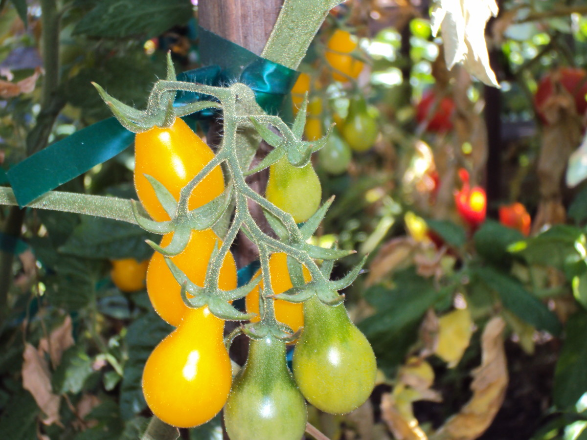 A cluster of pear tomatoes growing on the vine.
