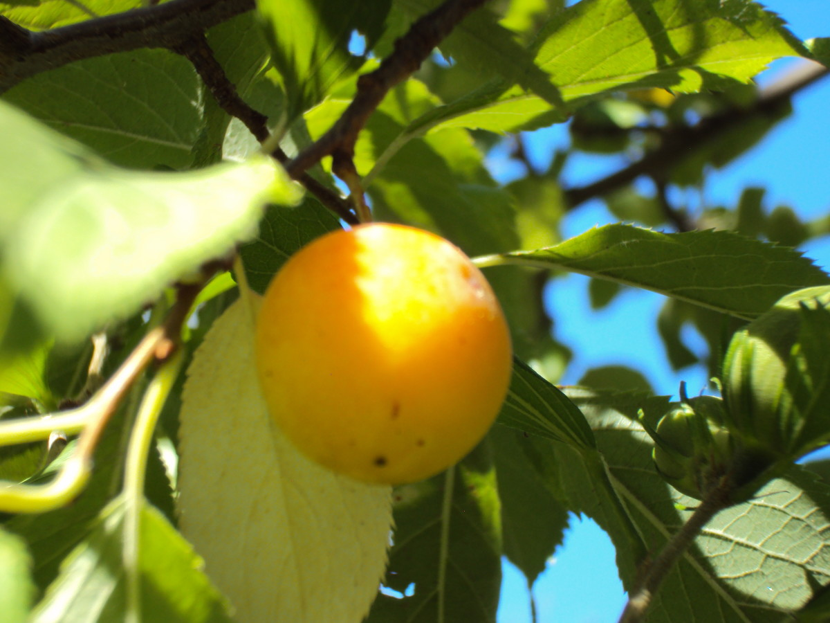 A plum ripening on the tree.