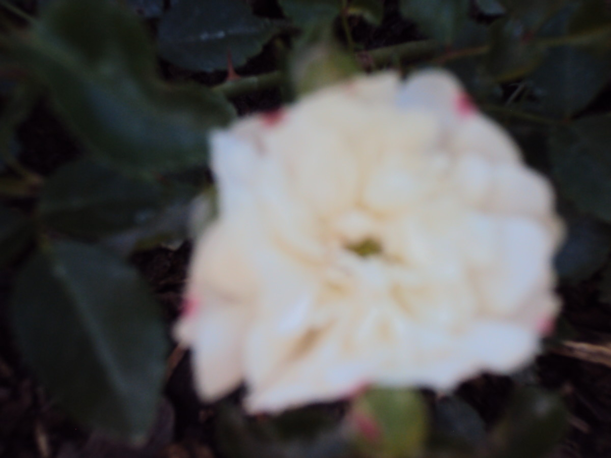 An out of focus white and pink rose.