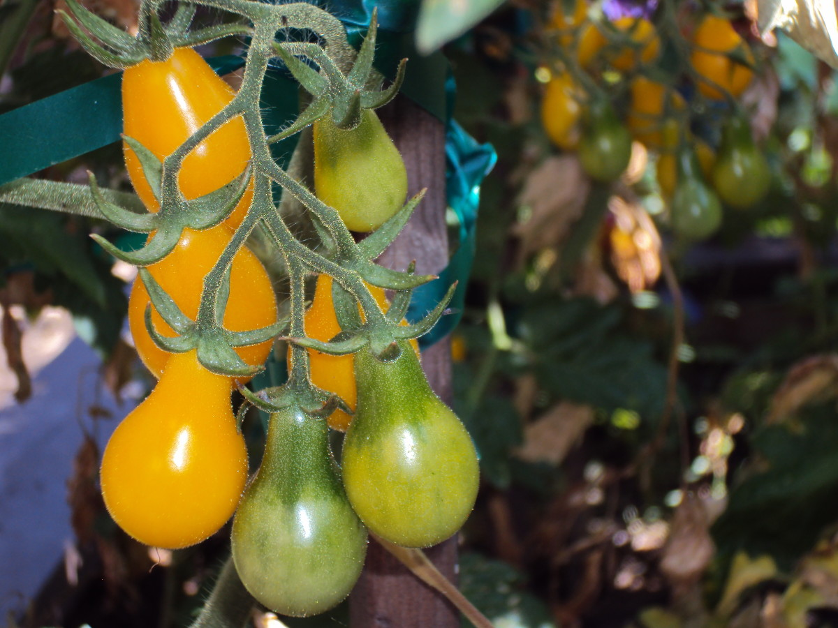 Growing a variety of tomatoes is helpful if you like small ones in salads such as yellow pear tomatoes, which I prefer over cherry tomatoes.