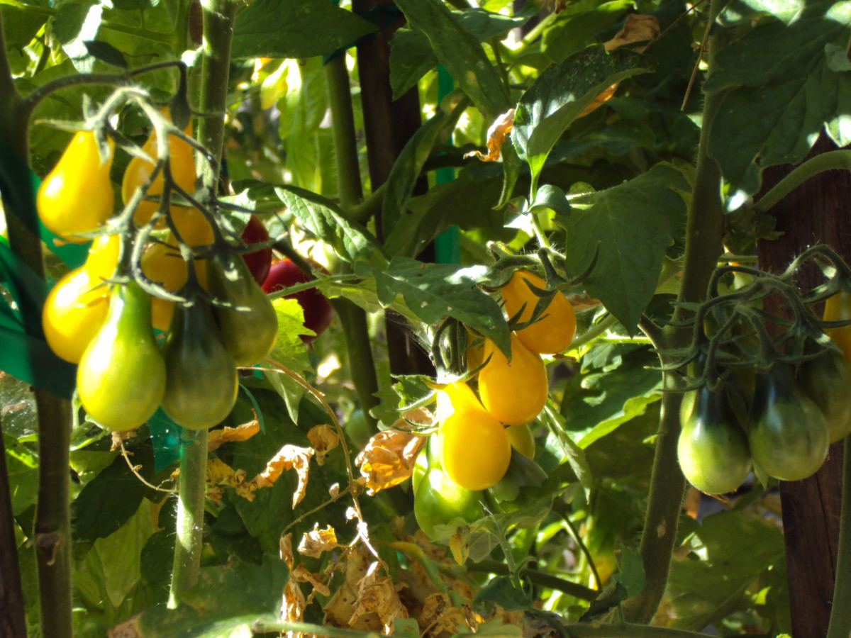 The golden color of pear tomatoes.