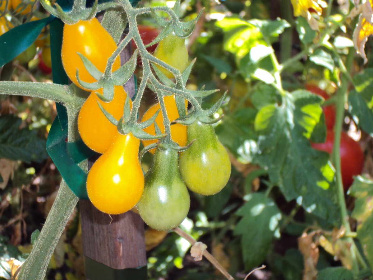 Little pear tomatoes are tasty in salads.