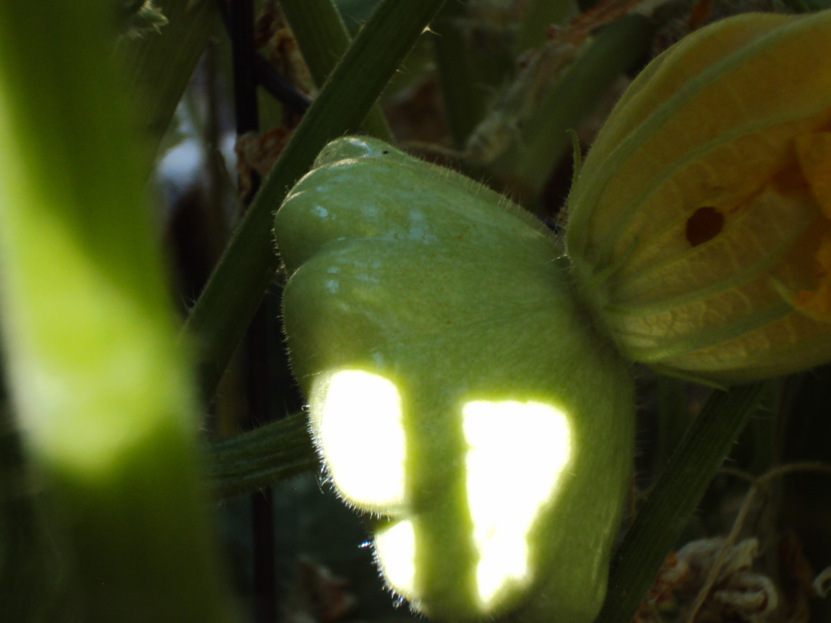 Another photograph of the patty pan squash.