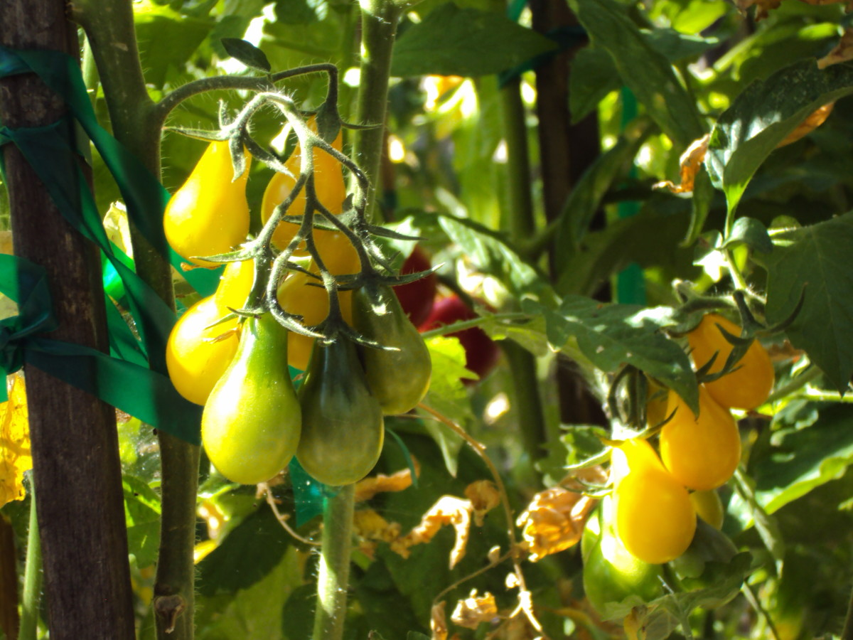 The yellow pear tomatoes.