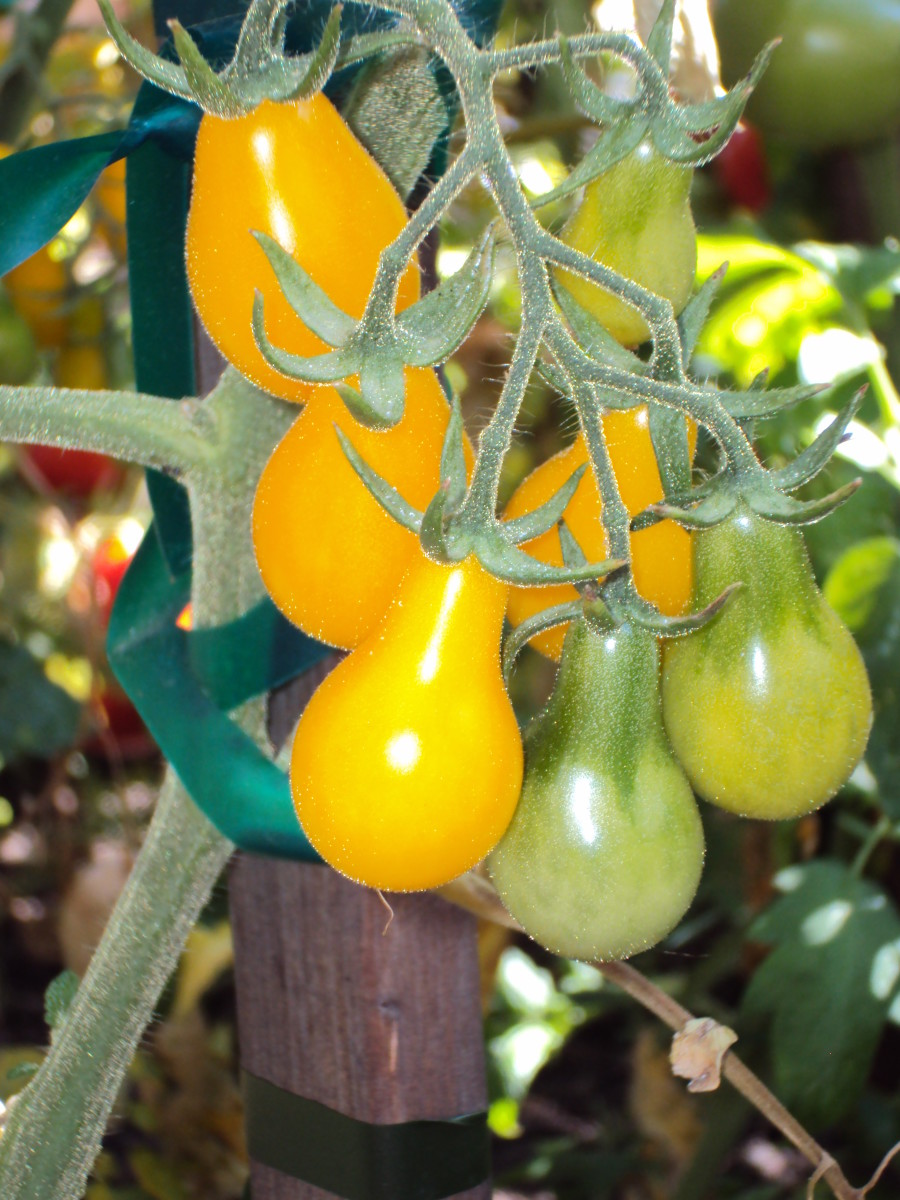 The yellow pear tomatoes are very vibrant indeed.