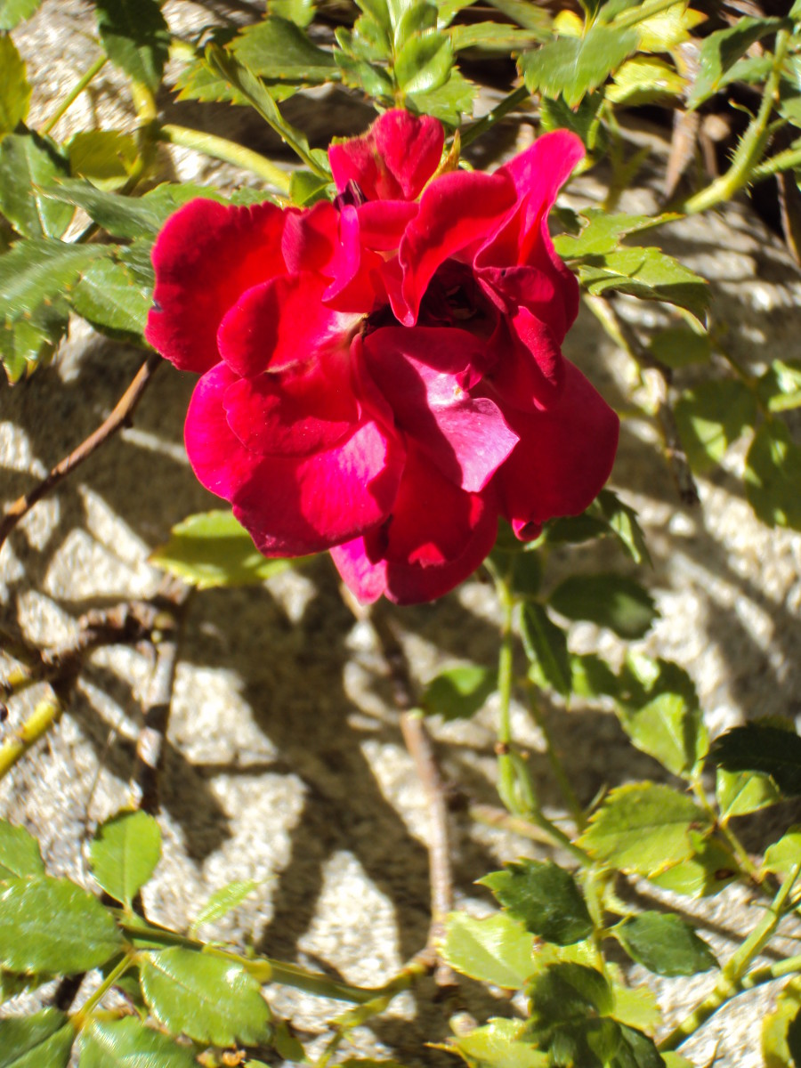 A dainty red rose in the garden.