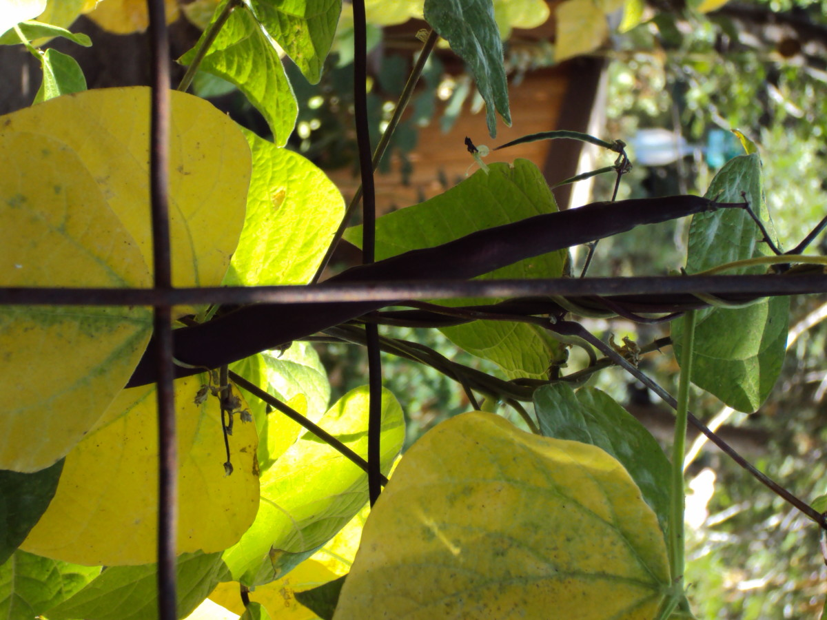 The leaves on a climbing bean plant.