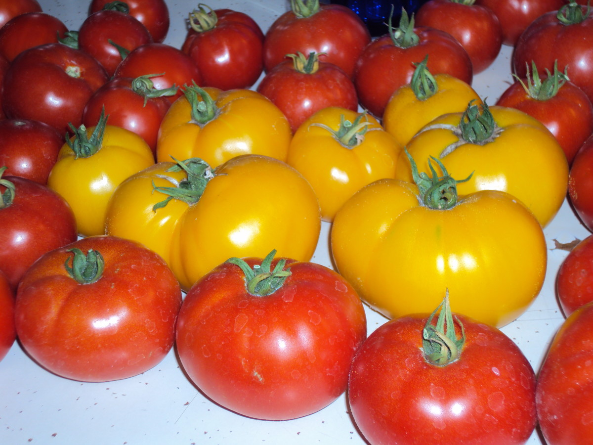 Yellow beefsteak tomatoes surrounded by read beefsteak tomatoes.