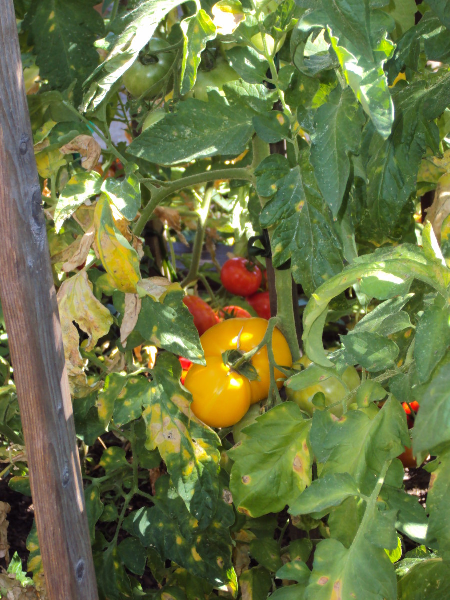 The tomatoes are turning red.