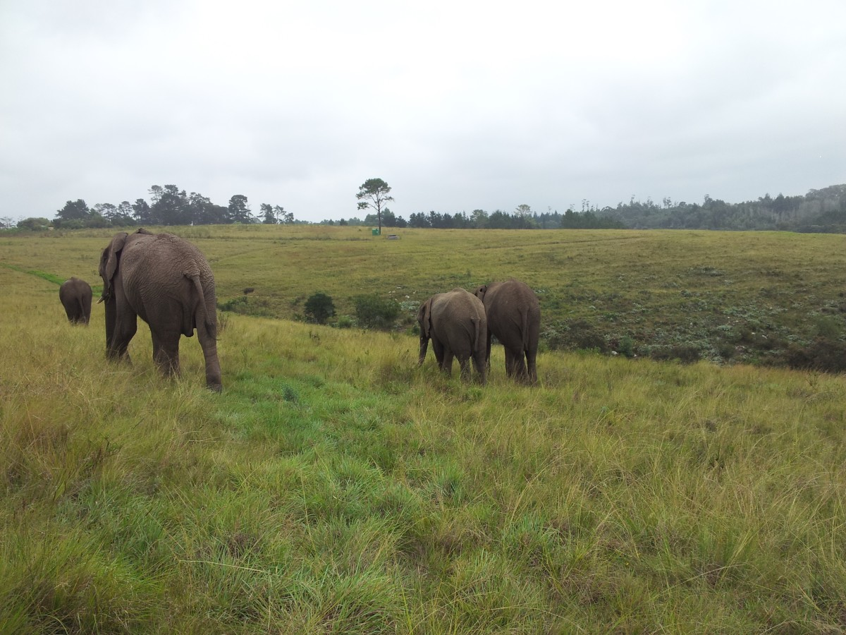 Walk with Elephants at Knysna Elephant Park