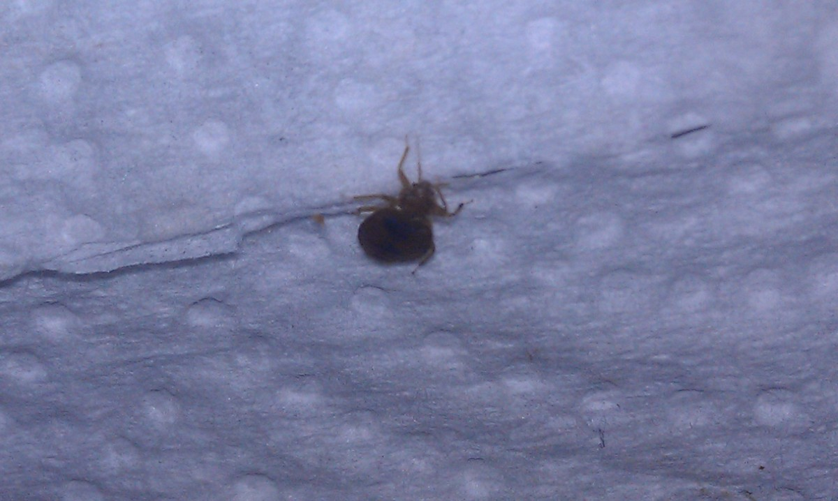 Bed Bug on a Paper Towel