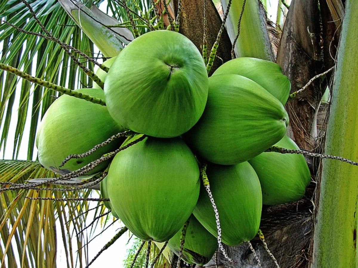 Unripe Coconuts With the Fibrous Covering