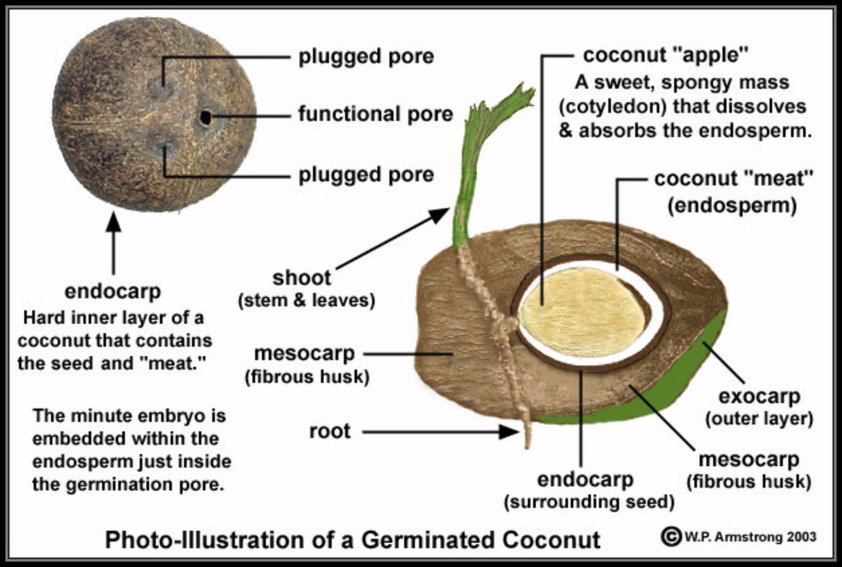 Structure of the Coconut Fruit