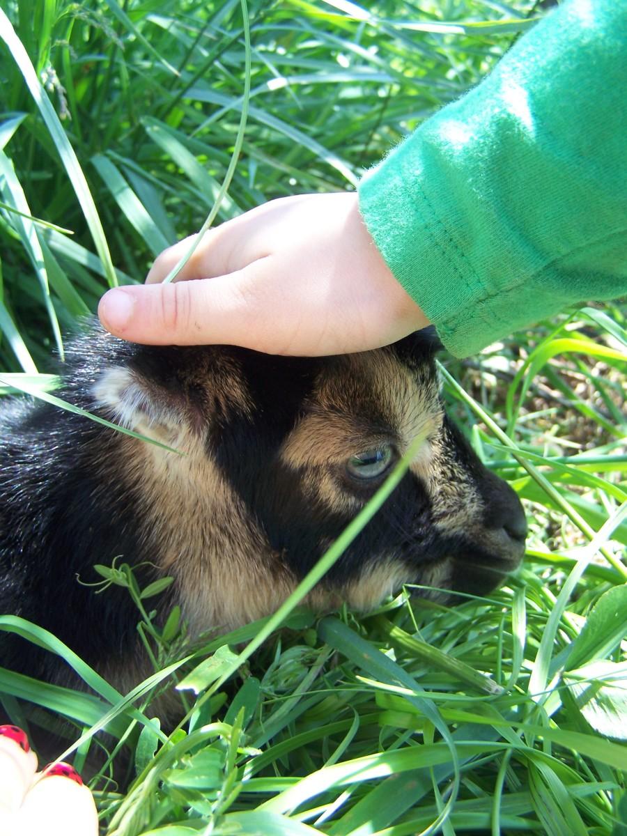 Baby Lamancha Goat Doeling