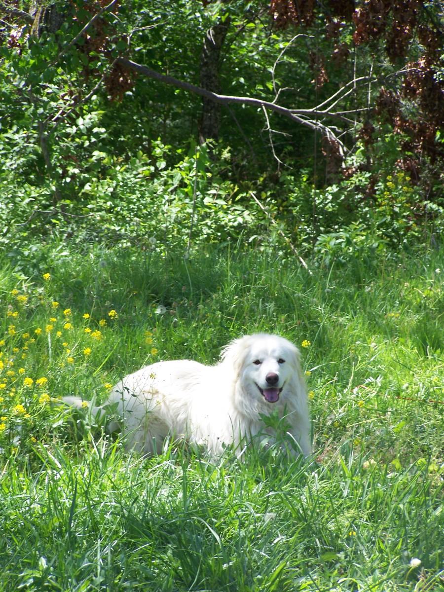 Training an Adult Great Pyrenees Livestock Guardian Dog
