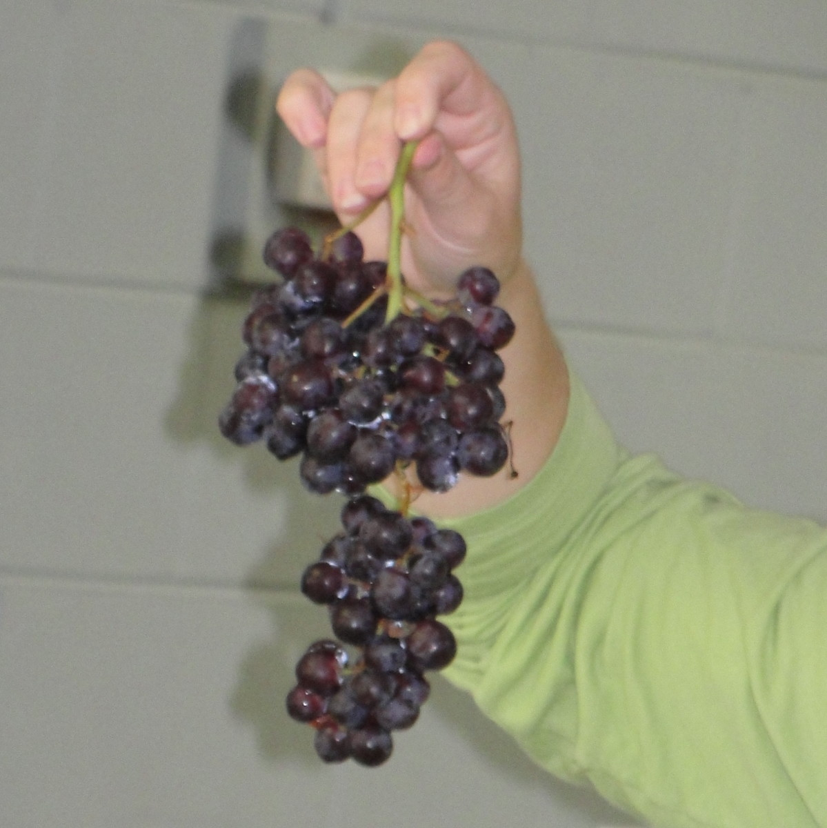 Grapes are our edible lung models.