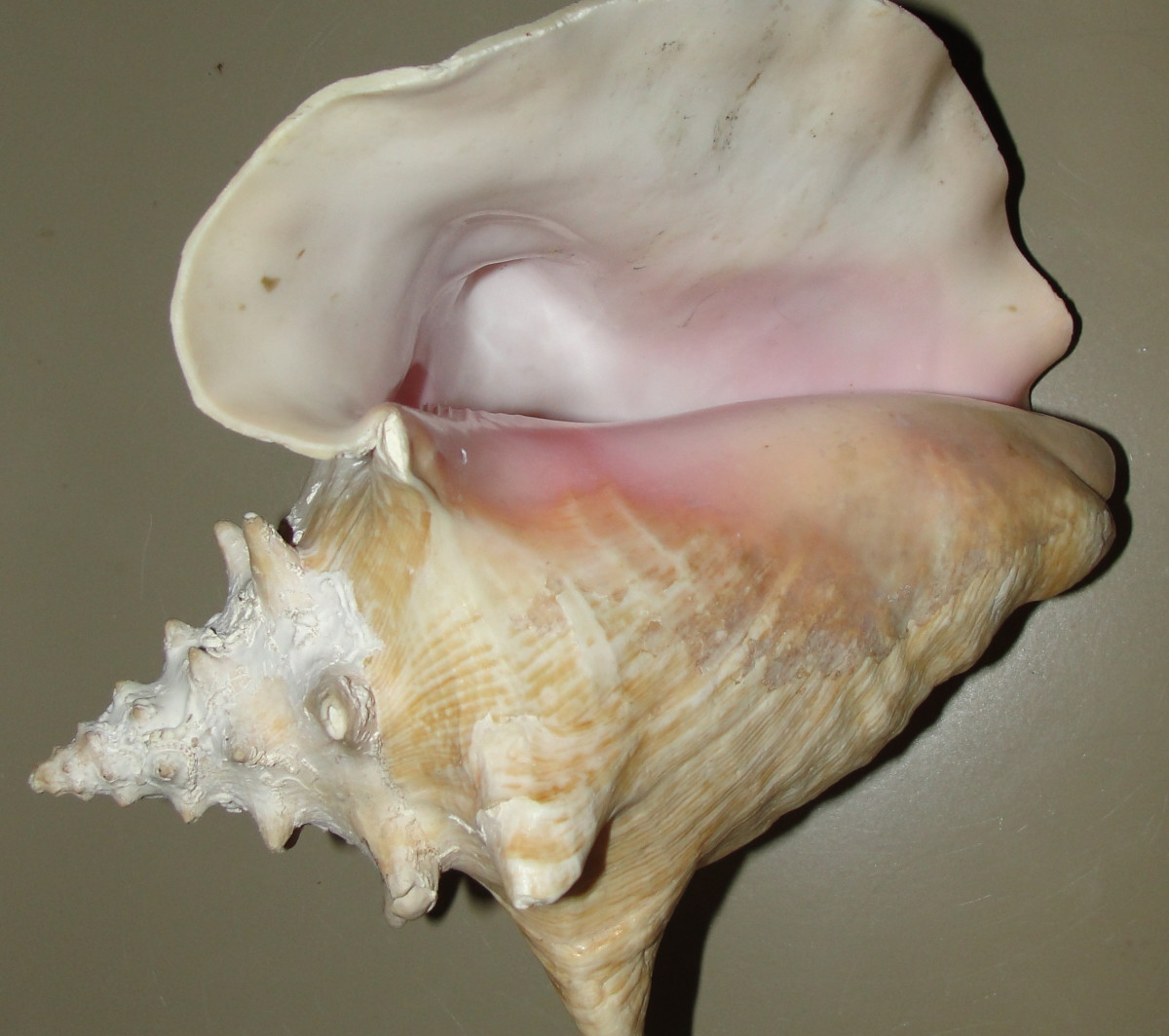 Our conchae were named after the conch shell.