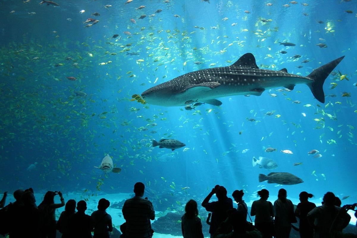 """""""Male whale shark at Georgia Aquarium"""" by Zac Wolf"""