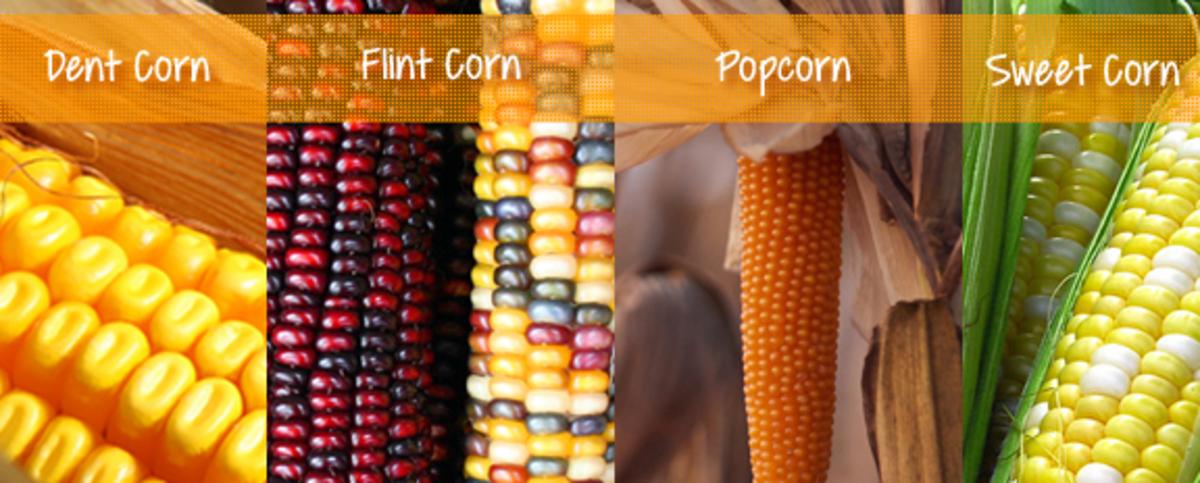 Varieties of Corn (Maize) Crop