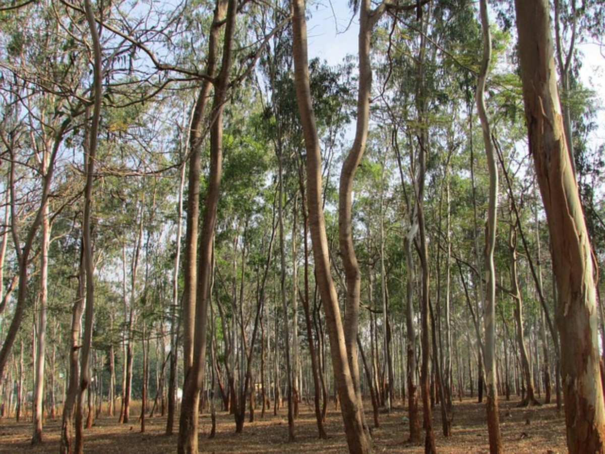 Facts About the Eucalyptus Tree - Description and Uses