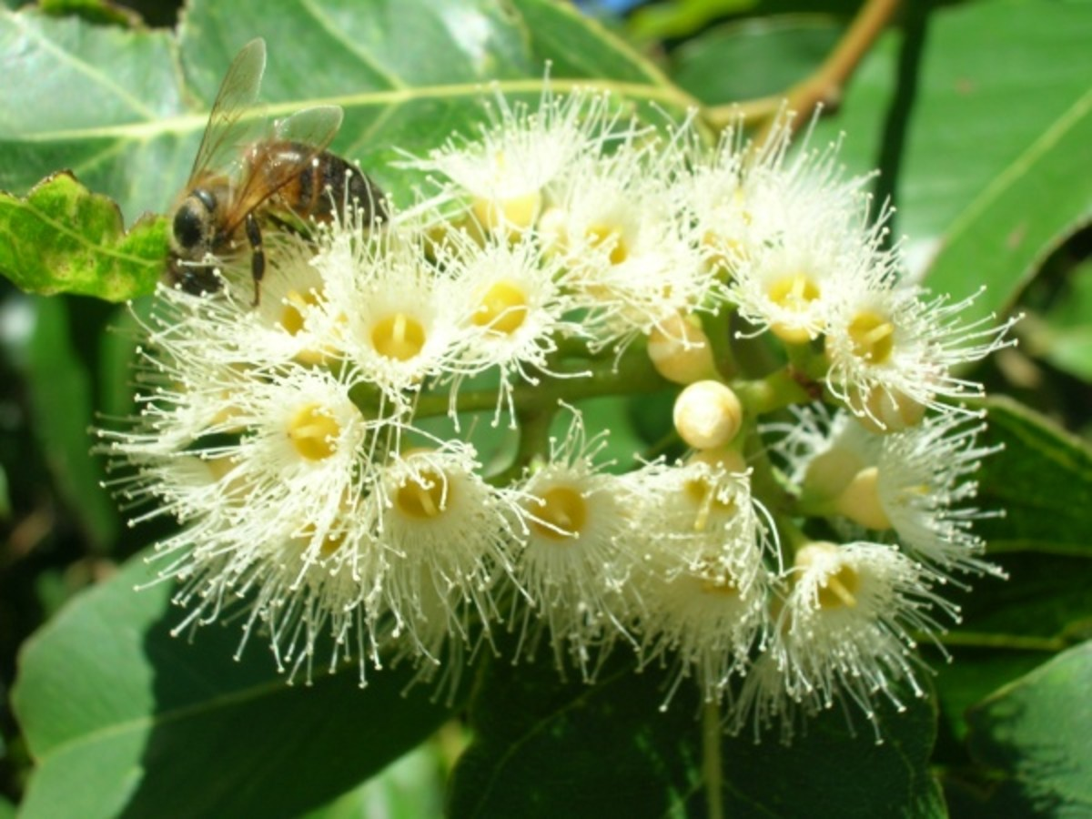 Flowers of the Eucalyptus Tree