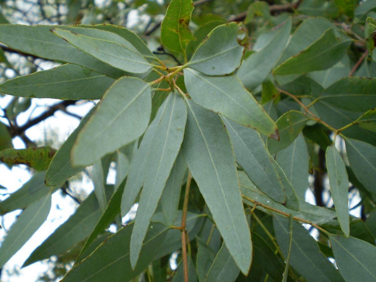 Leaves of the Eucalyptus Tree