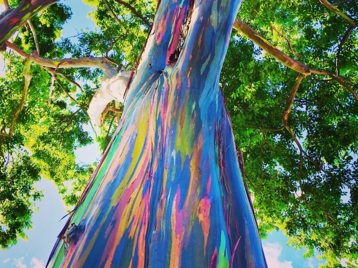 Facts About The Eucalyptus Tree Description And Uses Hubpages