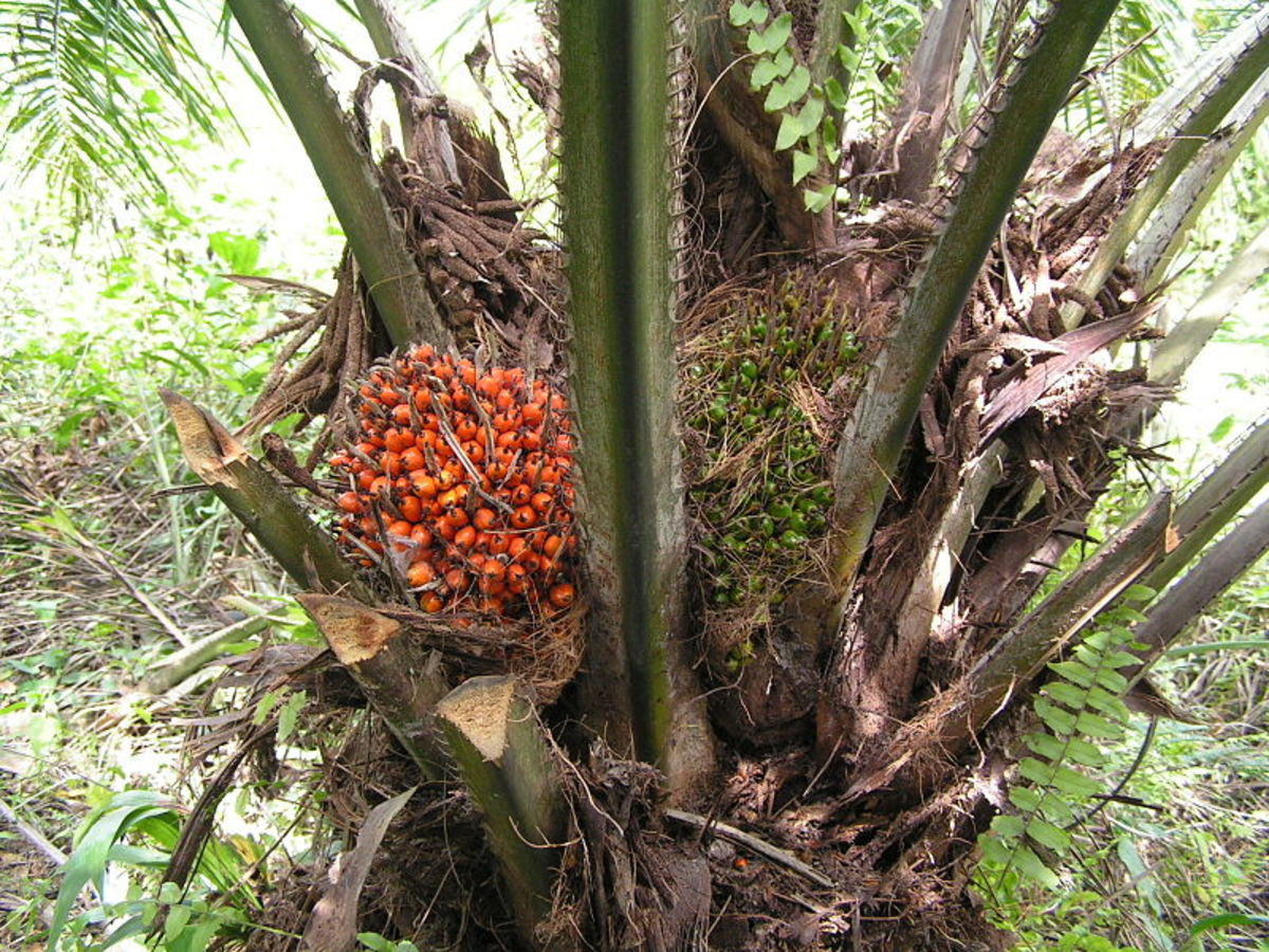 The Health Benefits of Palm Oil, Palm Kernel Oil, and Coconut Oil