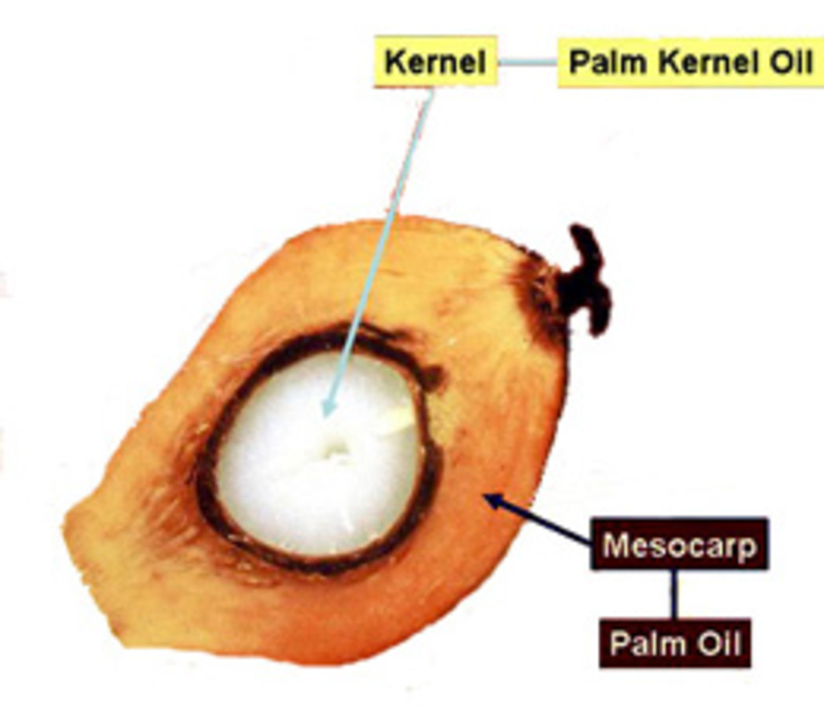 The anatomy of a palm kernel fruit.