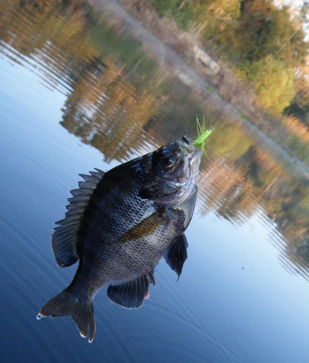 A bluegill caught on an unweighted, chartreuse woolly bugger