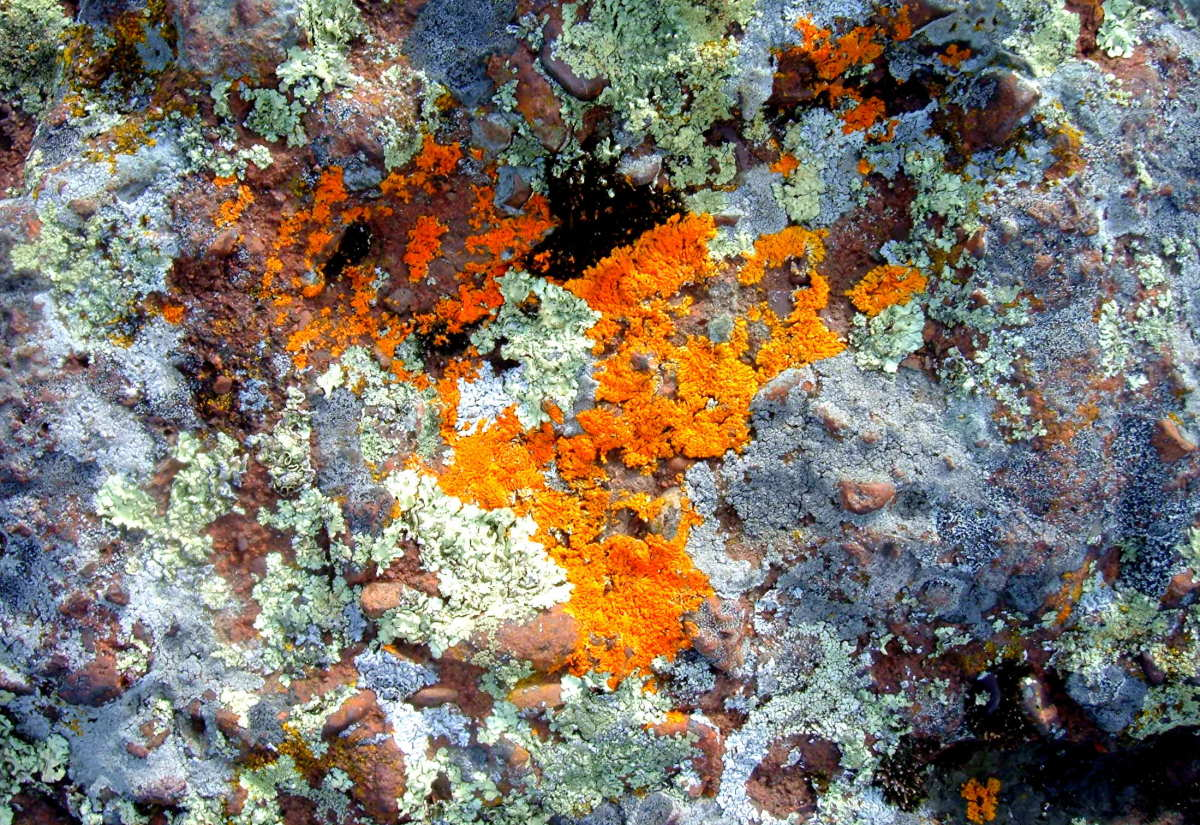 various kinds of lichen growing on rock.  Horseshoe Harbor, in Michigan's Keweenaw Peninslula