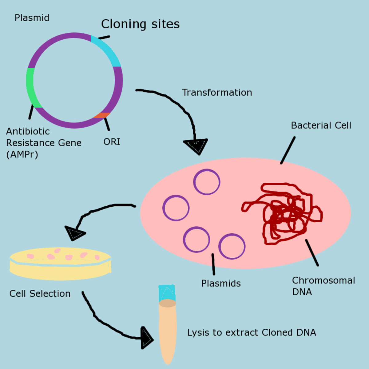 Cloning DNA in a plasmid vector is a straightforward process: the DNA is placed in a plasmid, then into a bacterial cell. The bacteria is grown in media laced with antibiotic to select for the recombinant cells. Cell lysis removes the cellular DNA.
