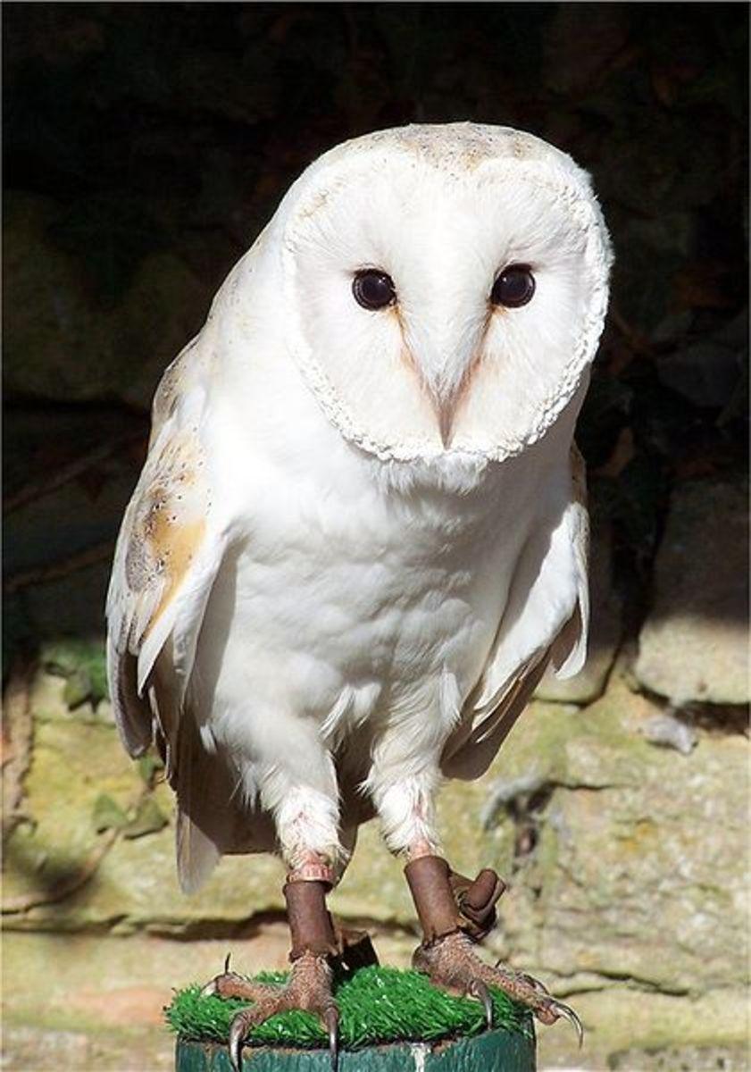 English Barn Owl
