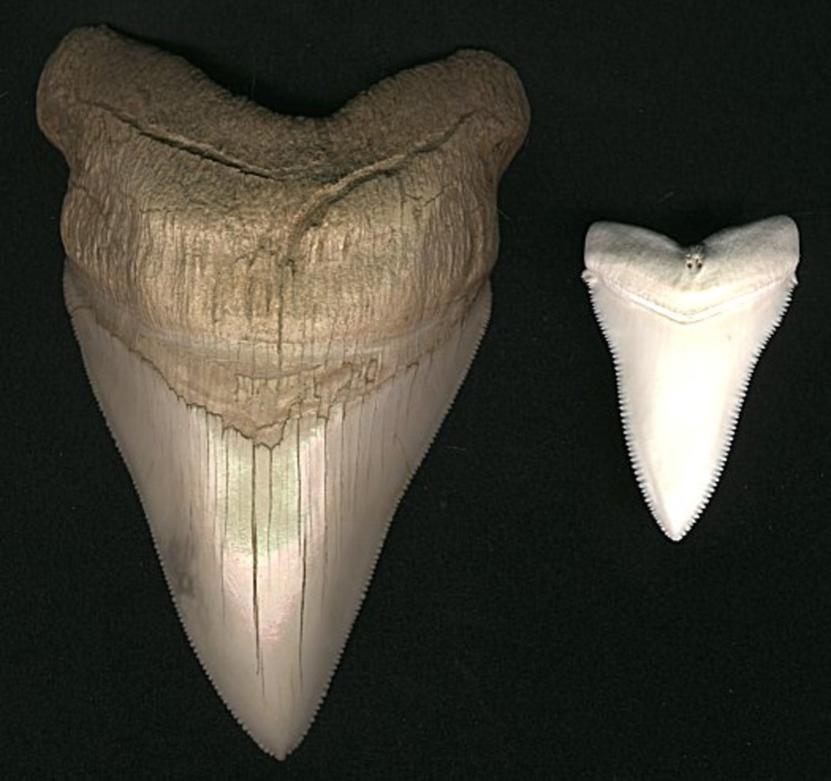 Megalodon tooth compared to that of the smaller great white shark