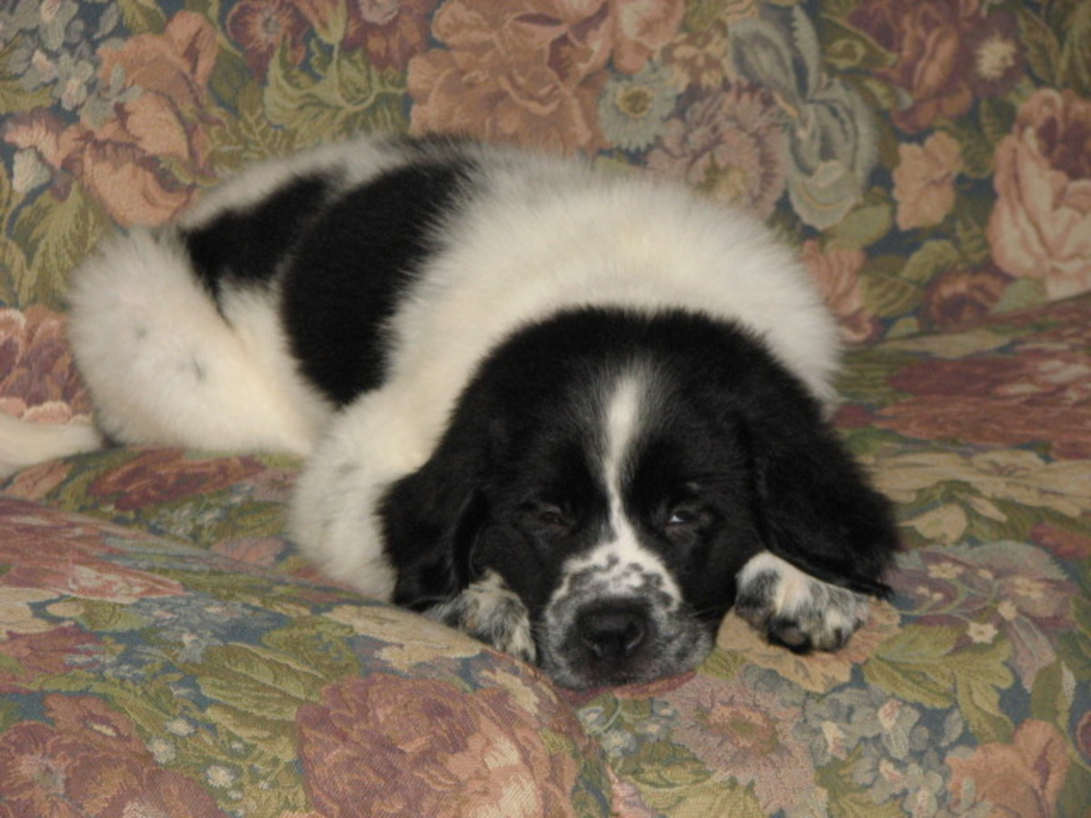 My Millie Mae; A Puppy Mill Newfoundland