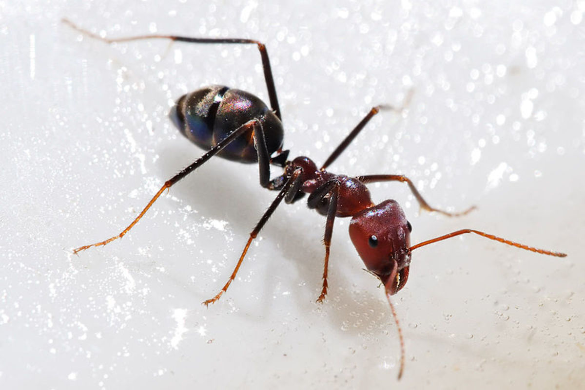 Ants By The Pound. Do you know it takes 500,000 Sugar Ants to make a pound. But if you could weigh all the ants on earth they would weigh more than all the humans on earth. Now that's amazing.