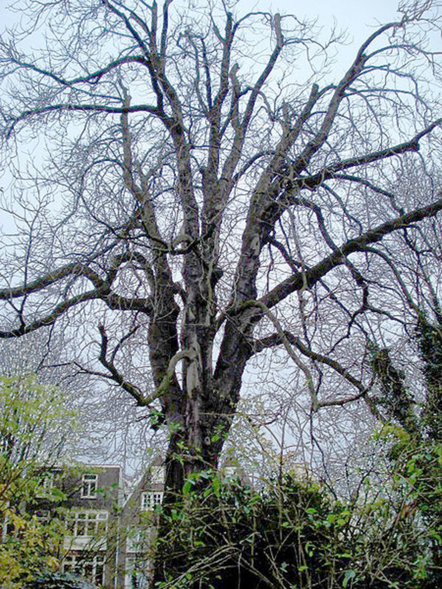 The horse chestnut tree Anne Frank wrote about in her diary.