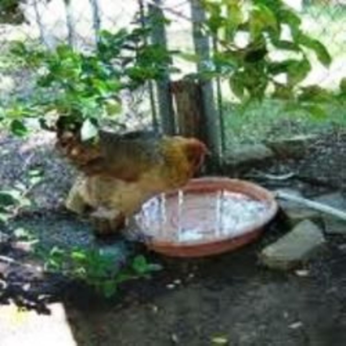 Help your hens stay cool in the summer by providing wading pools.