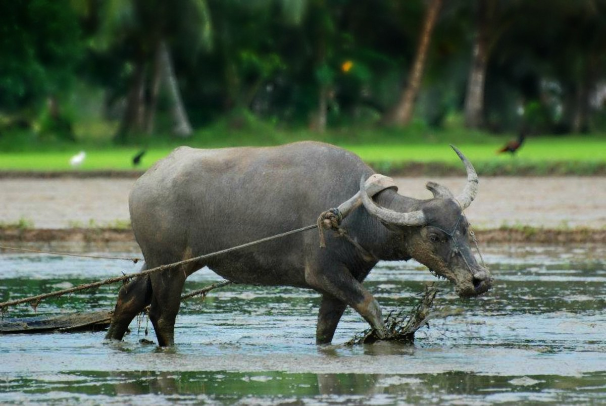 A carabao's hard labour in a rice field.   Thank you Jun for sharing your beautiful photos!