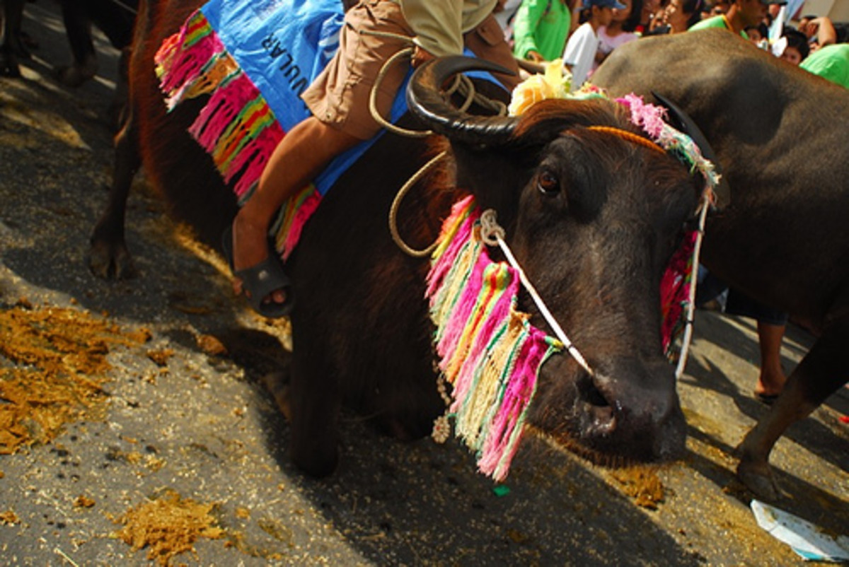 The kneeling carabao at a parade in Pulilan Bulacan, Philippines