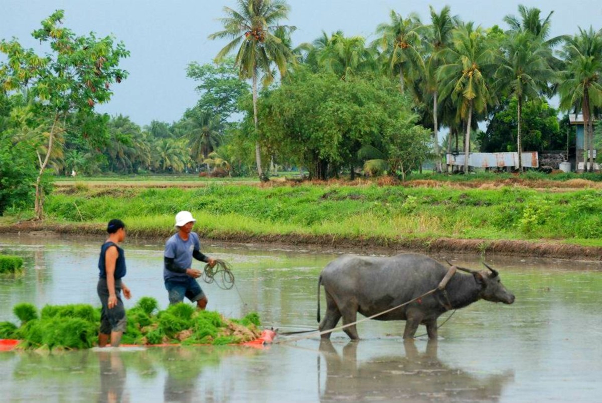 A farming scene with a carabao pulling a floater filled with rice seedlings to plant.  This is probably after a rainfall.  Talicud Island, the Philippines.