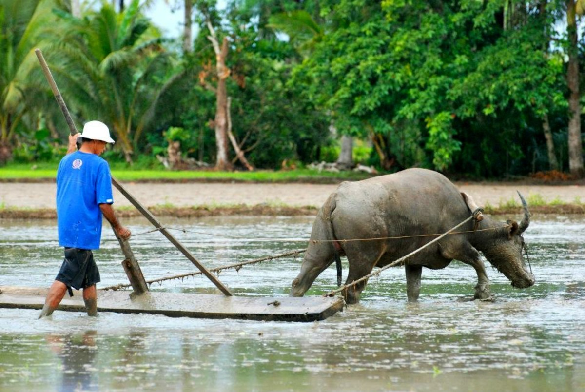 The Carabao: From the Beast of Burden in Fields to the Beauteous Beast in Festivals
