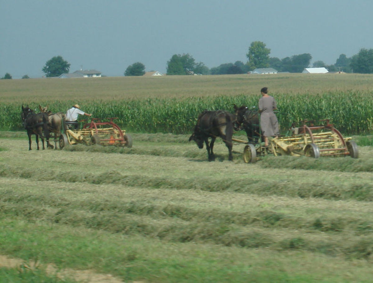 Mennonites working in the fields.